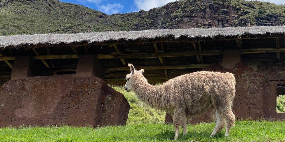 Llama in Huchy Qosqo