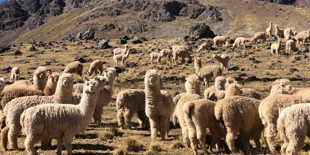 In lares trail the 3 days we can see llamas and alpacas