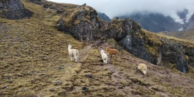 11In lares trail the 3 days we can see llamas and alpacas
