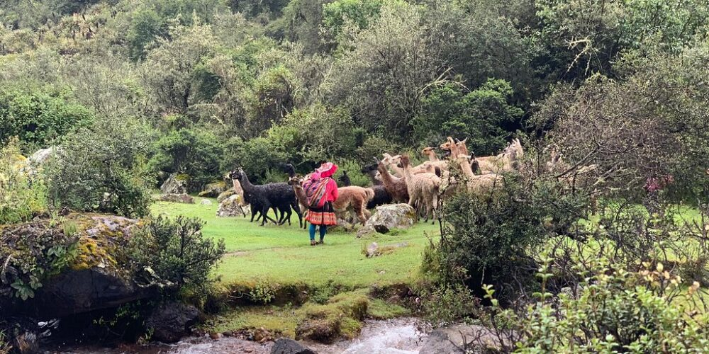 This is how the Andean women graze the llamas in Lares that is possible to see in the lares walk 3 days