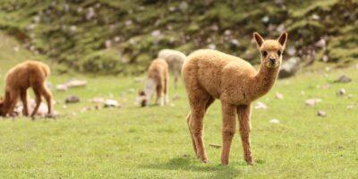 11Beautiful alpaca baby on the lares hike 3 days