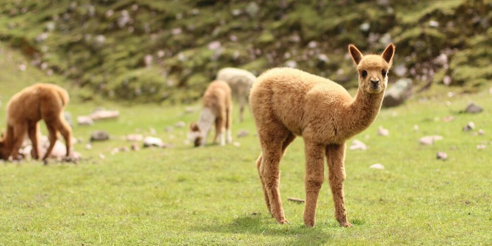 Alpaca drinks and together with his herd we enjoy this in the Lares trek 4 days