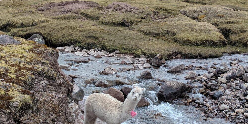 Alpaca in Lares Trail Peru