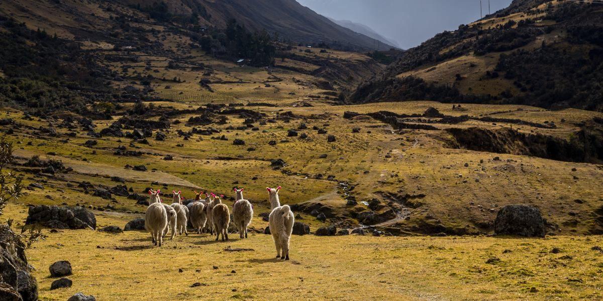 Andean Shepherds and Llamas