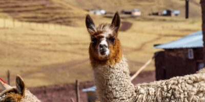 11Llama in the Trail To Rainbow Mountain