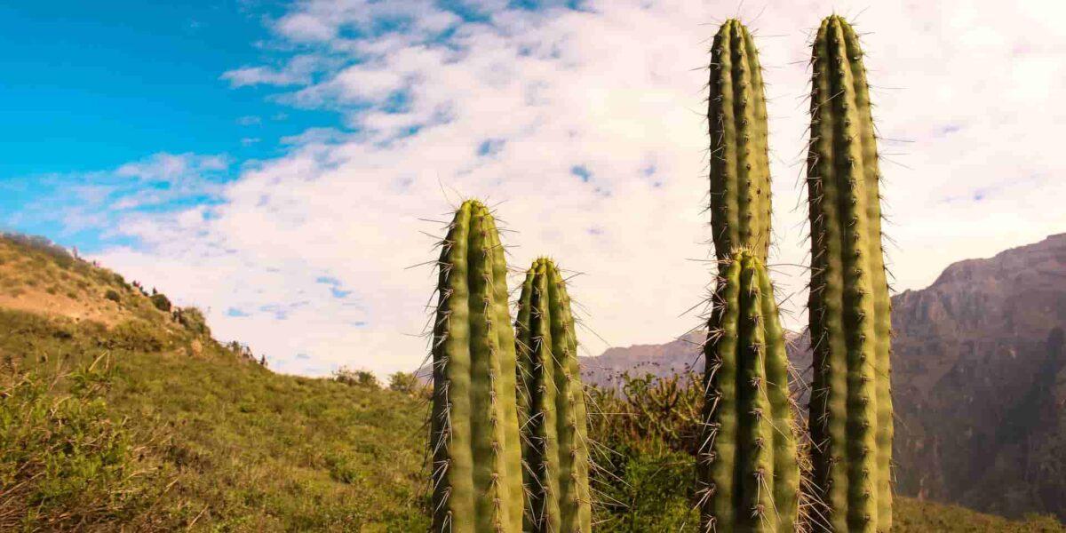 cactus In Canyon Colca