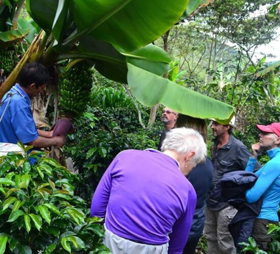 Picking coffee and bananas in Lucmabamba Choquequirao to Machu Picchu has it all