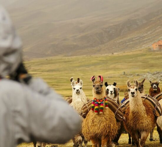 On the Ausangate trek to the rainbow mountain 4 days you can see a bunch of alpacas and beautiful landscapes