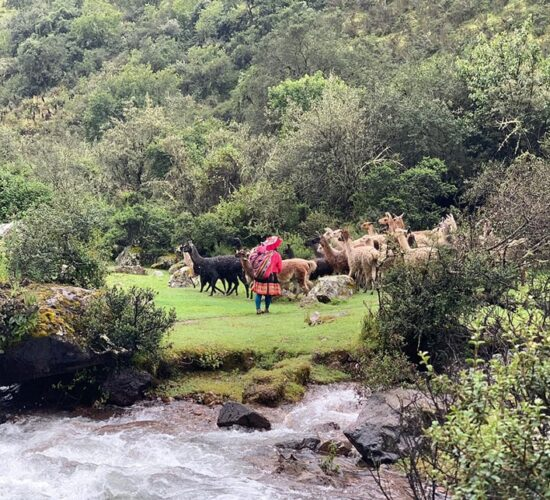 on the lares trail 4 days we will also see Andean women grazing their alpacas