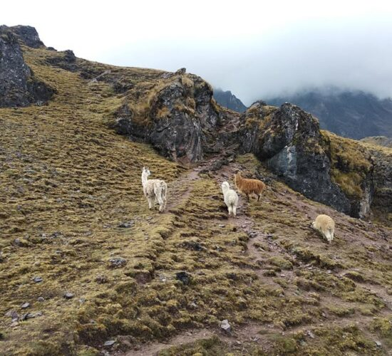on the Lares trail 4 days we can see llamas and alapacas